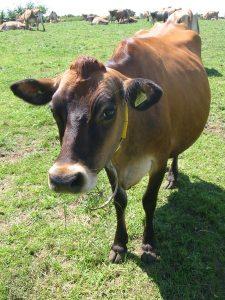 unassuming cow