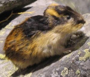 Lemming on rock
